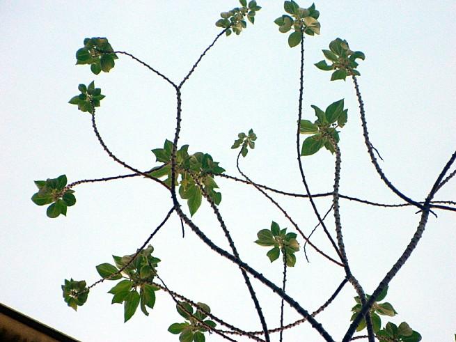 Pipturus argenteus