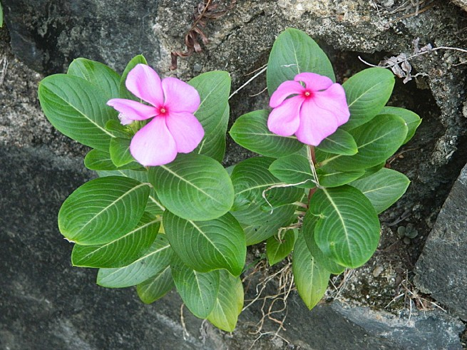 Periwinkle (Catharanthus roseus)