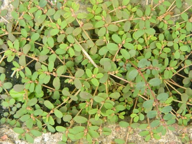 Euphorbia thymifolia