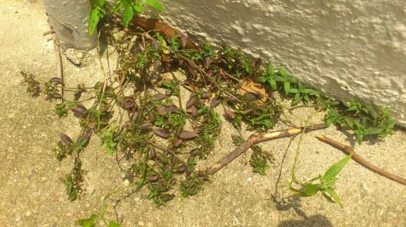 Oldenlandia biflora (Rubiaceae)